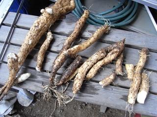 自家製 自然薯