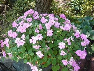 インパチェンス ピンクの鉢