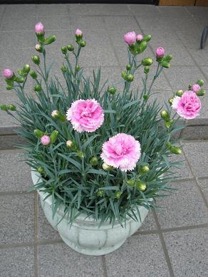 ガーデンピンクス1