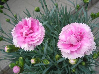 ガーデンピンクス2