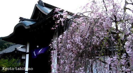 観修寺の現在の桜