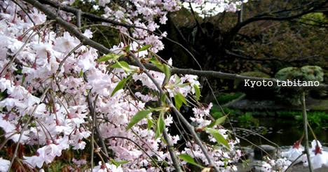 観修寺の桜