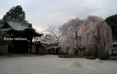 高台寺 桜
