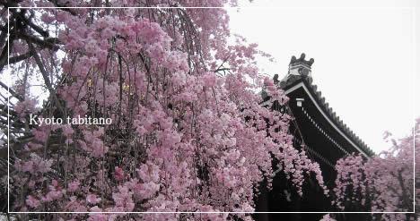 仏光寺 桜
