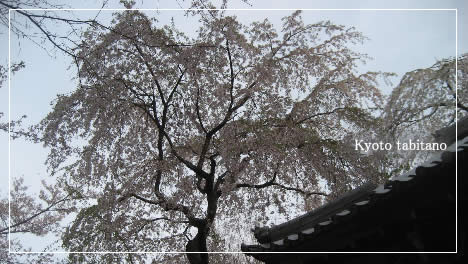 西行桜 勝持寺