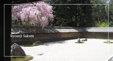 龍安寺 桜 石庭