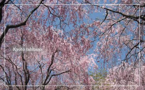 龍安寺 桜苑