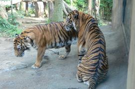上野動物園トラ
