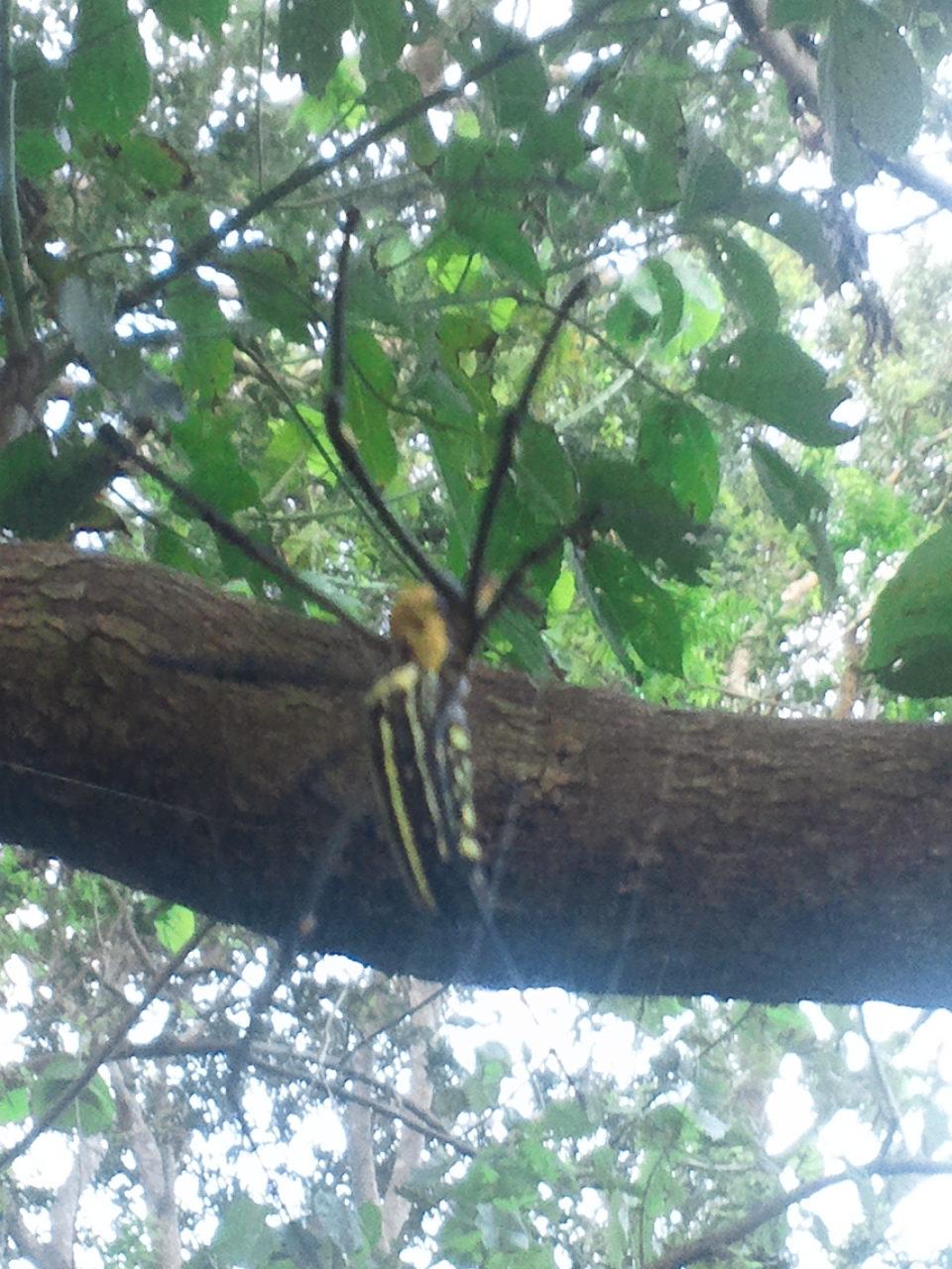 a silk spider