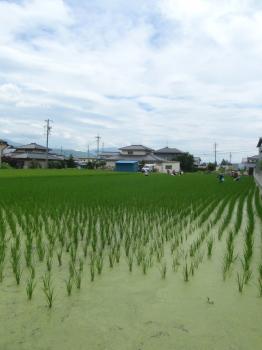 ricefild