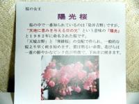 陽光桜茶碗 清宝 3150円