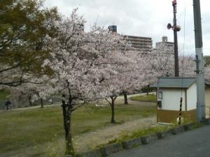 松山市石手側沿の桜