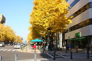 日本大通りの銀杏