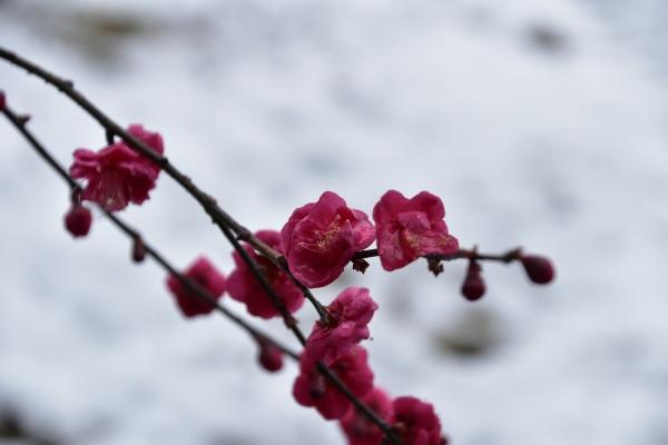 2019-02-11 雪の日の後楽園 276.JPG