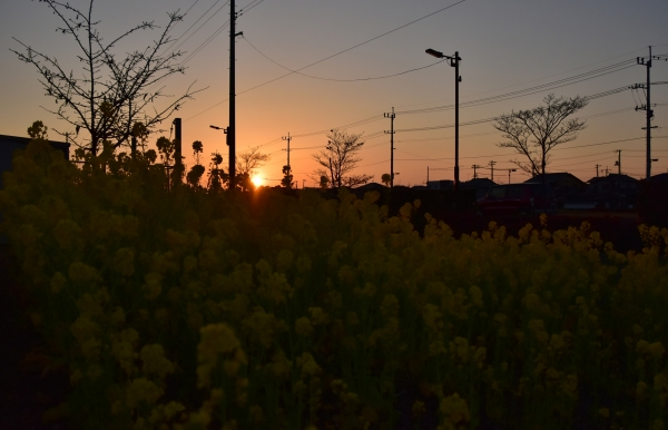 2019-02-24 菜の花と夕陽 039.JPG