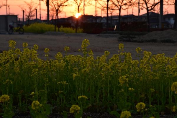 2019-02-24 菜の花と夕陽 071.JPG