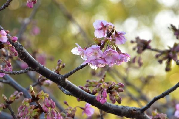 2019-02-24 菜の花と夕陽 005.JPG