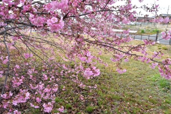 2019-03-04 飛行場公園の河津 042.JPG