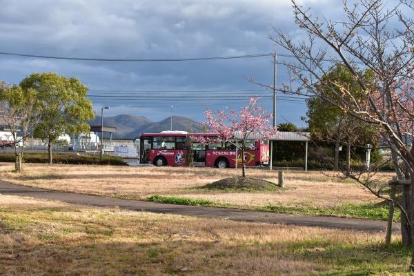 2019-03-04 飛行場公園の河津 078.JPG