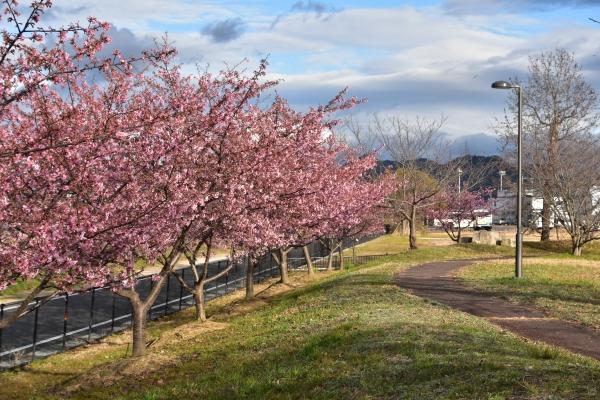 2019-03-04 飛行場公園の河津 080.JPG