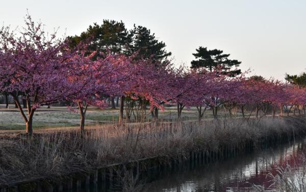 2019-03-08 桜とシラサギ 019.JPG