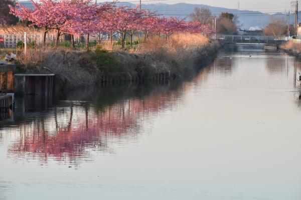 2019-03-08 桜とシラサギ 026.JPG