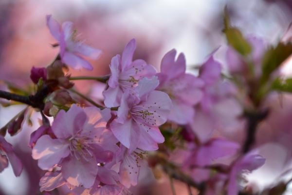 2019-03-08 桜とシラサギ 039.JPG