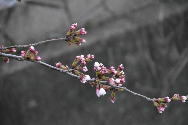 2019-03-28 桜の開花 009.JPG