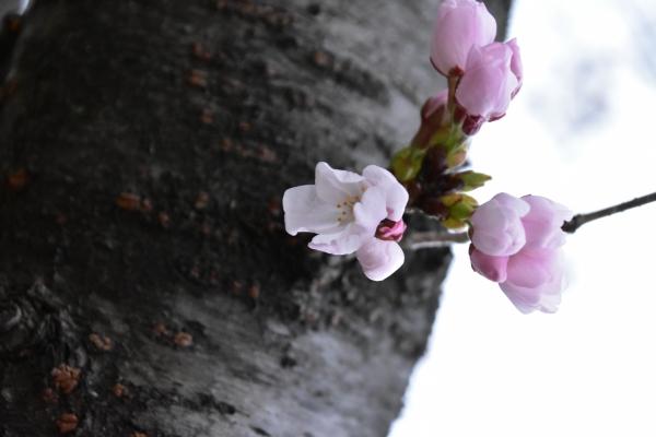 2019-03-28 桜の開花 014.JPG