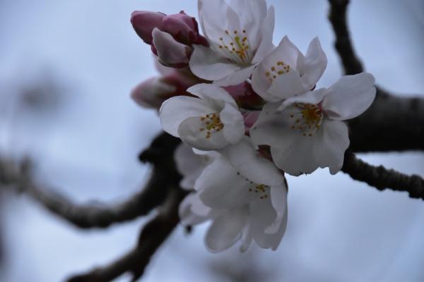 2019-03-28 桜の開花 020.JPG