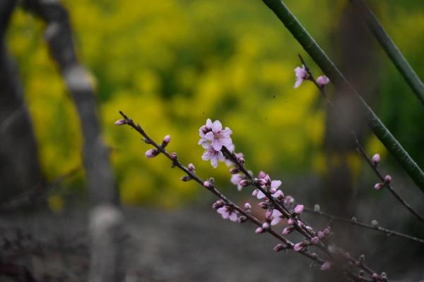 2019-03-28 桜の開花 022.JPG