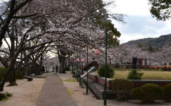 2019-04-01 南輝の桜 450.JPG