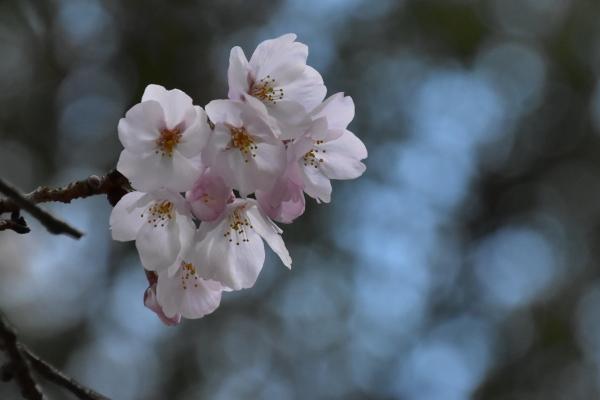 2019-04-01 南輝の桜 458.JPG