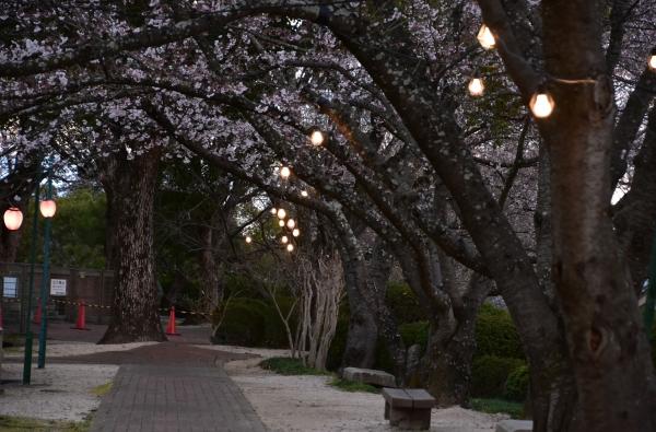 2019-04-01 南輝の桜 505.JPG