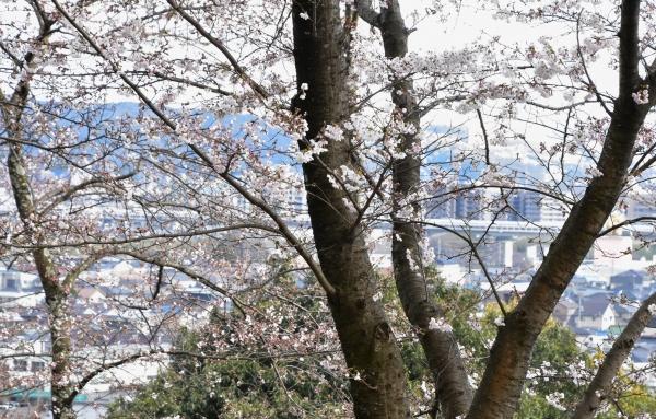 2019-04-01 南輝の桜 403.JPG