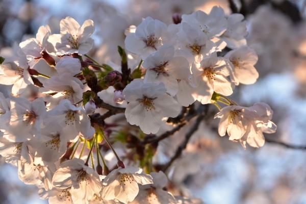 2019-04-04 給食センターの桜 002.JPG