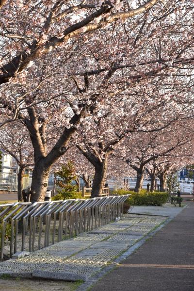 2019-04-04 給食センターの桜 016.JPG