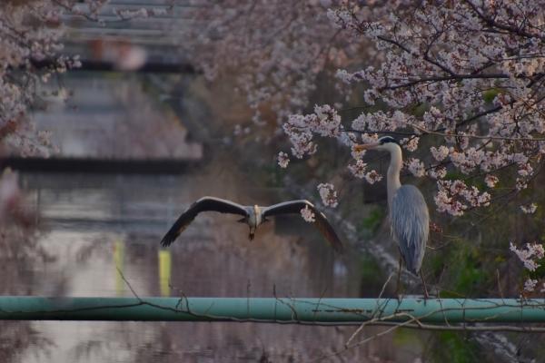 2019-04-06 二丁目の桜 016.JPG