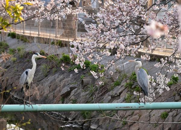 2019-04-06 二丁目の桜 027.JPG