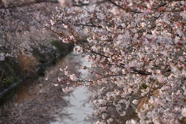 2019-04-06 二丁目の桜 056.JPG