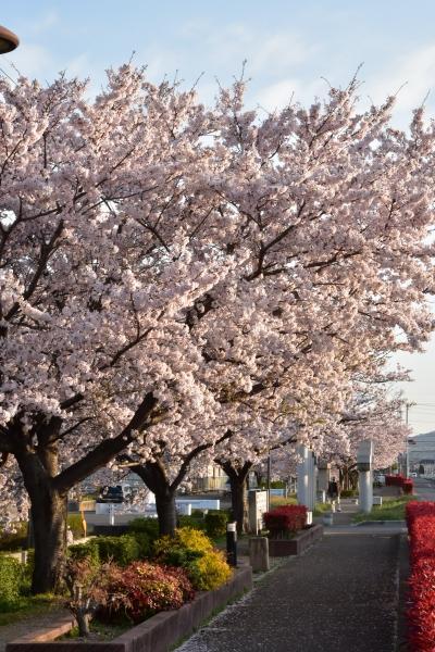 2019-04-09 給食センターの桜 004.JPG