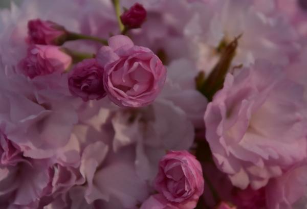 2019-04-23 八重桜 004.JPG