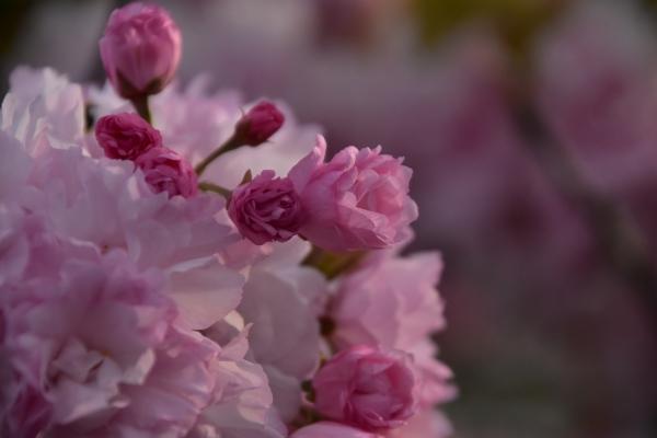 2019-04-23 八重桜 006.JPG
