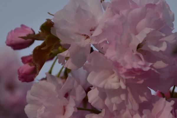 2019-04-23 八重桜 008.JPG