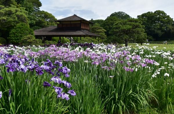 2019-06-09 後楽園お田植え 023.JPG
