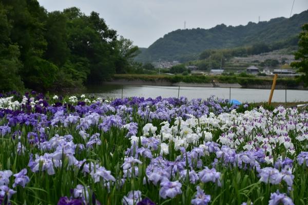 2019-06-14 山田菖蒲園 082.JPG
