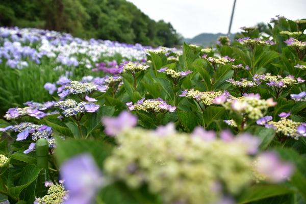 2019-06-14 山田菖蒲園 086.JPG