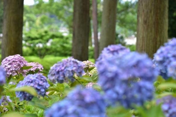 2019-06-16 京都三室戸寺 198.JPG