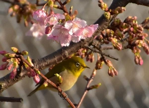 2020-02-20 2月の河津桜 065.JPG