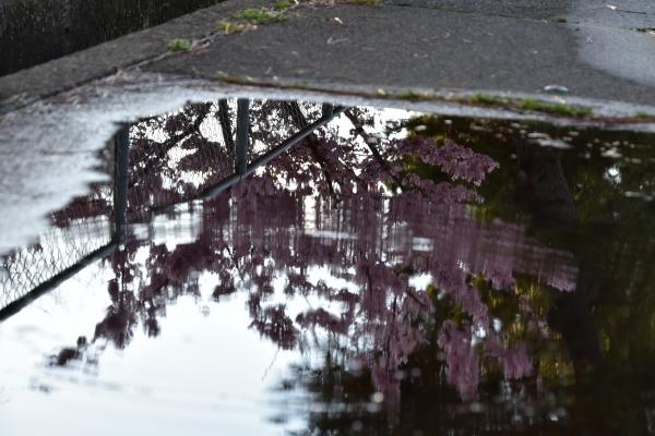 2020-03-08 雨上がりの河津桜 005.JPG